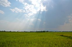Brillo ligero abajo del cielo sobre campo del arroz Imagen de archivo