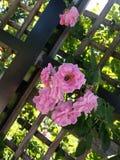 Brillo ligero alrededor de una flor rosada Fotos de archivo libres de regalías