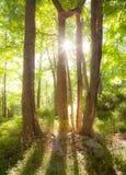 Brillo a través de los árboles imagen de archivo libre de regalías