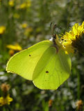 Brimstone Stock Photo