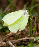 Brimstone Royalty Free Stock Photography