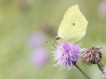 Brimstone. Beautiful butterfly standing on thisthle at autumn time Stock Image