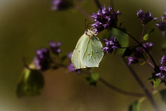 Brimstone. Butterflies on purple flowers royalty free stock images