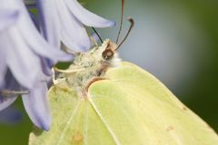 Brimstone butterfly. A closeup of a brimstone butterfly royalty free stock image