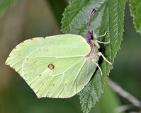 Free Brimstone Butterfly Stock Images - 32712644