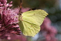 Free Brimstone Butterfly Royalty Free Stock Photos - 39505168
