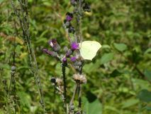 Brimstone butterfly in the forest royalty free stock photography