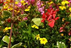 Brimstone Butterfly Stock Photos