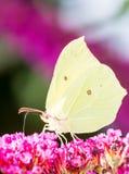 Brimstone Butterfly Stock Image