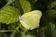Brimstone butterfly on bramble leaf Royalty Free Stock Photography