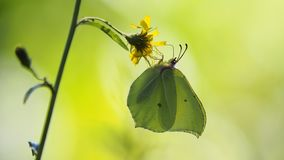 Brimstone butterfly stock photo