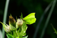 Brimstone butterfly camouflage Stock Image