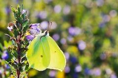 Brimstone butterfly closeup Stock Photography