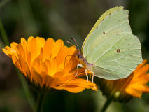 Brimstone butterfly closeup drinking nectar from orange marigold flower. Stock Image
