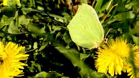Brimstone butterfly on dandelion flower. Inspring in Poland stock video