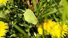 Brimstone butterfly on dandelion flower. Inspring in Poland stock video