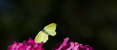 Brimstone butterfly. A brimstone butterfly flying over a pink flower royalty free stock photos