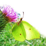 Brimstone butterfly (Gonepteryx rhamiri) Royalty Free Stock Photography