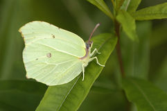Brimstone Butterfly - Gonepteryx rhamni Royalty Free Stock Photos