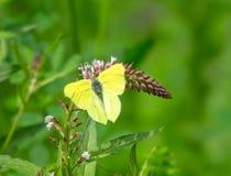 Free Brimstone Butterfly (Gonepteryx Rhamni Stock Photos - 160348063