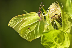 Brimstone butterfly, Gonepteryx rhamni Stock Image
