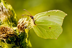 Brimstone butterfly, Gonepteryx rhamni Royalty Free Stock Photos