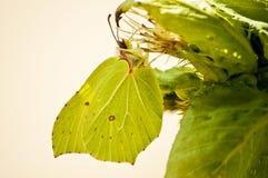 Brimstone butterfly, Gonepteryx rhamni Royalty Free Stock Image