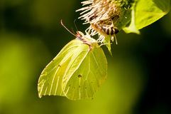 Brimstone butterfly, Gonepteryx rhamni Royalty Free Stock Images