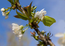 Brimstone  Butterfly (Gonepteryx rhamni) in blossoming apple tree Royalty Free Stock Photos