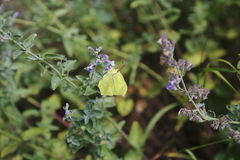 Brimstone butterfly, Gonepteryx rhamni, butterfly, yellow butterfly Stock Images