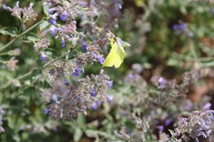 Brimstone butterfly, Gonepteryx rhamni, butterfly, yellow butterfly Stock Photo