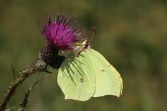 A Brimstone Butterfly (Gonepteryx rhamni ). Stock Photography