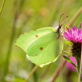 A Brimstone Butterfly, Gonepteryx rhamni, feeding on a thistle. stock photo
