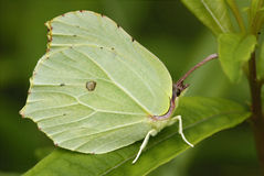 Brimstone Butterfly Royalty Free Stock Photos