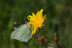 Brimstone  Butterfly (Gonepteryx rhamni) on flower Dandelion Royalty Free Stock Photos