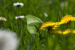 Brimstone  Butterfly (Gonepteryx rhamni) on flower Dandelion Royalty Free Stock Photo