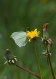 Brimstone  Butterfly (Gonepteryx rhamni) on flower Dandelion Stock Photography