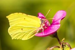 Brimstone butterfly, Gonepteryx rhamni on vetch flower Royalty Free Stock Photos