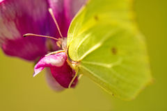 Brimstone butterfly, Gonepteryx rhamni on vetch flower Stock Photo