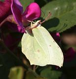 Brimstone butterfly on a latyrus Royalty Free Stock Images