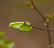 Brimstone Butterfly laying Royalty Free Stock Photo