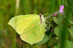 Brimstone butterfly in natural habitat (gonepteryx rhamni) Royalty Free Stock Photos