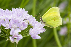Brimstone butterfly Stock Photography