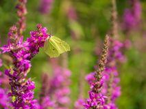 Brimstone butterfly on a pink flower stock photos