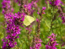 Brimstone butterfly on a pink flower royalty free stock photos