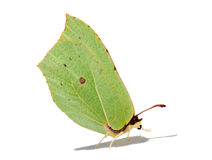 Brimstone butterfly with shadow Stock Images