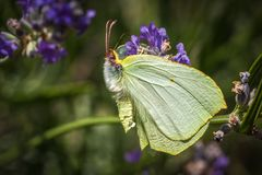 Brimstone butterfly sitting on a lavender plant. On a summer day royalty free stock image
