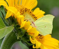 Brimstone Butterfly On Sun Flower Stock Photo