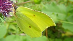 Brimstone butterfly on a thistle flower. In summer in Germany stock video footage
