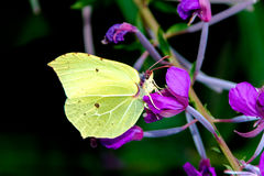 Brimstone butterfly Royalty Free Stock Images